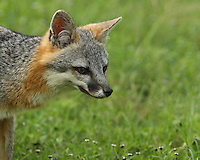 The central Texas Hill Country is home to many remarkable creatures, but none are more intriguing than the gray fox.