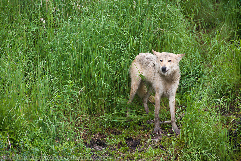 Gray wolf along the shore of Brooks River, Katmai National Park, Alaska.