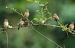 White Rumped Seed Eater, Serinus leucopygius, flock on branch, West Africa