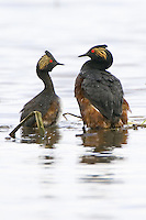 Pair of Eared Grebes performing a courtship dance
