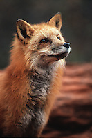 Portrait of a Red fox (Vulpes vulpes) - head and chest.