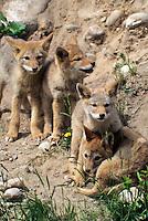 Coyote pups, Alberta, Canada