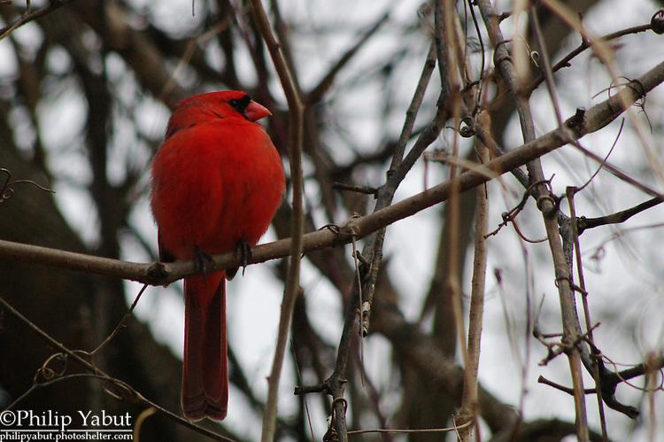 Not sure if this northern cardinal (Cardinalis cardinalis) was squatting or just fat.  Belle Haven Park, Alexandria, Va.