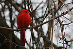 Not sure if this northern cardinal (Cardinalis cardinalis) was squatting or just fat.  Belle Haven Park, Alexandria, Va.