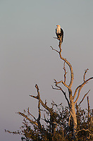 The African fish eagle is one of the more beautiful raptors found in southern Africa.