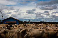Livestock in Amazon rainforest, herd of cattle at BR-163 road ( Cuiaba - Santarem road ).