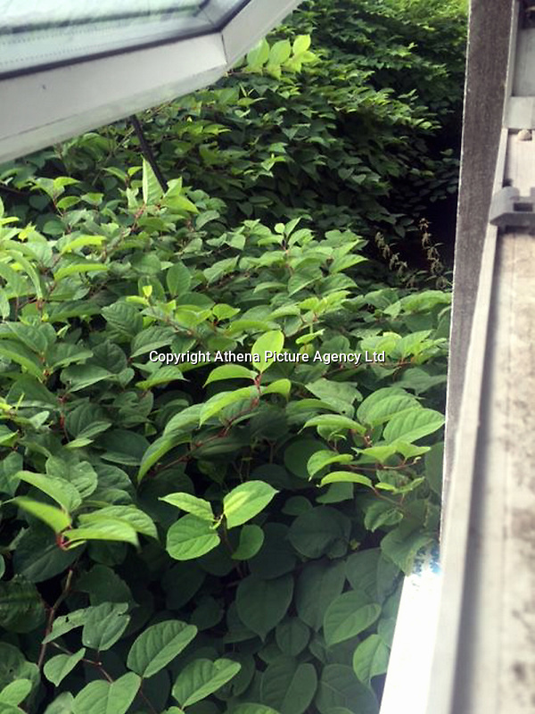 "COPY BY TOM BEDFORD<br /> Pictured: The Japanese knotweed behind the properties.<br /> Re: A homeowner whose bungalow is towered over by Japanese knotweed on a railway line has won a four-year legal fight for compensation by Network Rail.<br /> Robin Waistell claimed he was unable to sell because the rail body had ignored requests to tackle the invasive weed on the bank behind his home in Maesteg.<br /> The case was seen as a likely test for homeowners whose property is blighted by knotweed on railway embankments.<br /> Network Rail said it would be ""reviewing the judgement in detail"".<br /> It is understood the rail infrastructure body was refused immediate leave to appeal against the ruling.<br /> Network Rail faces potential legal costs running into six figures after losing the case in Cardiff bought by Mr Waistell and a neighbour.<br /> Widower Mr Waistell, 70, had moved to the bungalow from Spain after his wife died.<br /> He had hoped to return to the sun, but found his property sale stymied by the knotweed growing on adjacent Network Rail land and was asking for £60,000 compensation for loss of value."