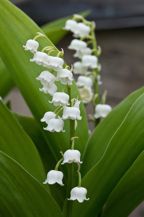 Lily-of-the-valley (Convallaria majalis), early May.
