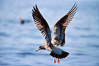 California gull, juvenile, .Larus californicus, .San Diego, California.