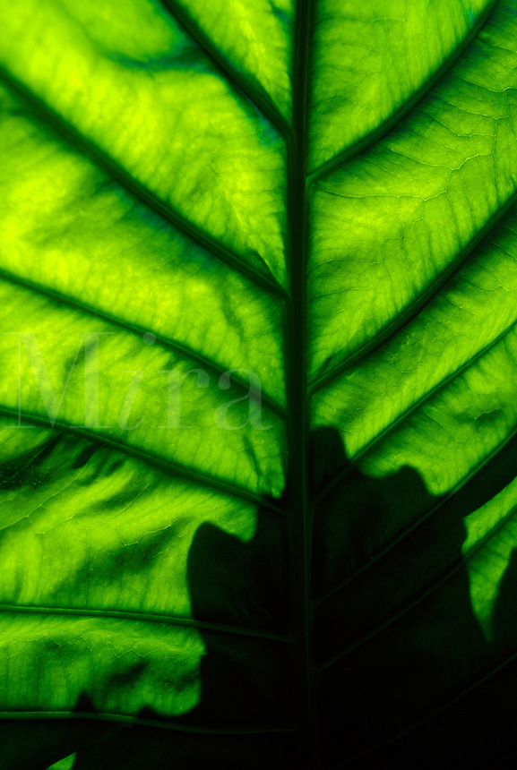 Abstract graphic of a backlit tropical palm leaf.