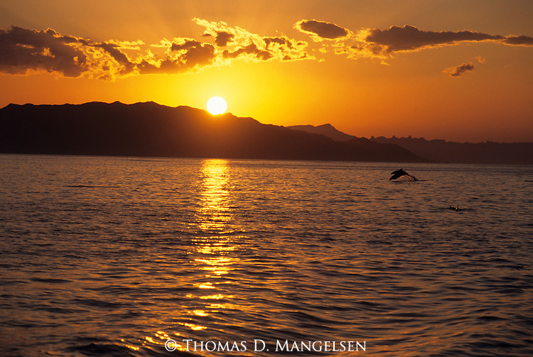 Pacific bottlenose dolphins leap out of the Sea of Cortez off the coast of Baja California, Mexico at sunset.