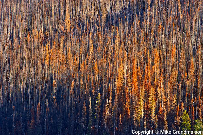 Burn from fire. Fire killed evergreen trees. Collin Range<br />Jasper National PArk<br />Alberta<br />Canada