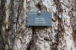 Tree species identification label, National arboretum, Westonbirt arboretum, Gloucestershire, England, UK - Pinus Nigra, Crimean Pine