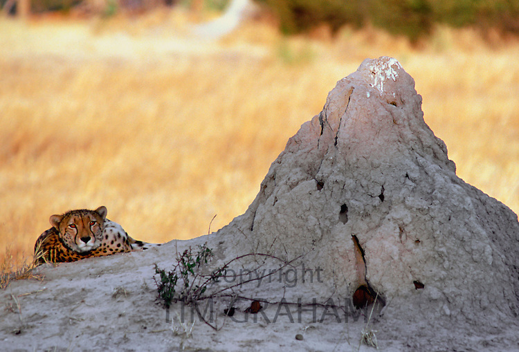 Cheetah at sunset lying by termite mound  in Moremi National Park , Botswana