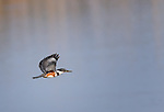 Female Belted Kingfisher in flight over water with wings aloft