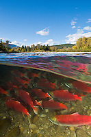 RY0921-Dm. Sockeye Salmon (Oncorhynchus nerka) undergo an epic migration from the open sea to their spawning grounds hundreds of miles upriver. Note that fisheries biologists tags on one fish (lower left) have been removed digitally. Adams River, British Columbia, Canada.<br /> Photo Copyright &copy; Brandon Cole. All rights reserved worldwide.  www.brandoncole.com