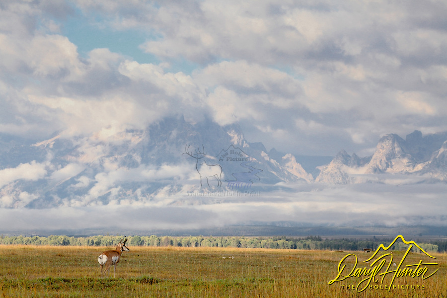 Pronghorn antelope buck, Grand Tetons, stormy day, Grand Teton National Park