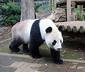Ueno Zoo's giant panda Ri Ri recently became a father to Xiang Xiang
