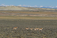 Pronghorn Antelope herd in southwestern Wyoming, Red Desert, Wind River Range in background.  Buck herding harem.