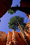 Trees growing inside of protected canyon hoodoo formations, Bryce Canyon National Park, Utah