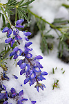 July snow-covered lupine in Yellowstone National Park