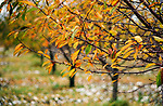 Cherry trees in fall color.