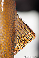 Close-up of Brooktrout fin