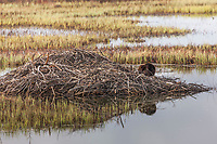 Beaver sits on its lodge in the wetlands of the Copper river delta in eastern Prince William Sound, southcentral, Alaska.