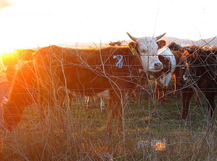 Cows grazing at sunset.