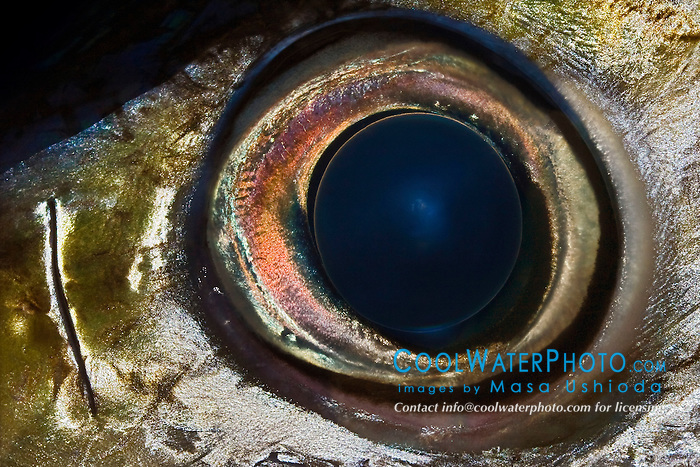 Eye of Bigeye Tuna, Thunnus obesus, off Kona Coast, Big Island, Hawaii, Pacific Ocean.