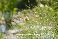 06361-00715 Common Green Darner (Anax junius) male dragonfly in flight over wetland, DuPage Co.  IL