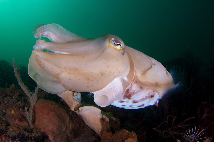 broadclub cuttlefish: Sepia latimanus, full body view whilst amongst a reef in green water, Komodo National Park