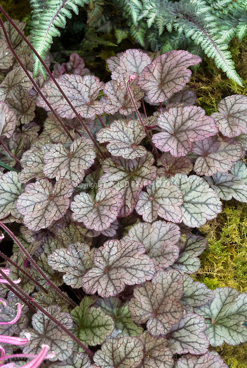 Heuchera Silver Light perennial foliage plant with prominent veins, fern