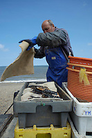 Covering lobsters with a damp cloth to keep them fresh at  Weybourne, Norfolk.