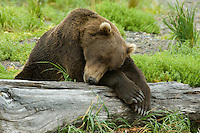 Coastal brown bear taking a nap after a morning of salmon fishing on the Alaska Peninsula.