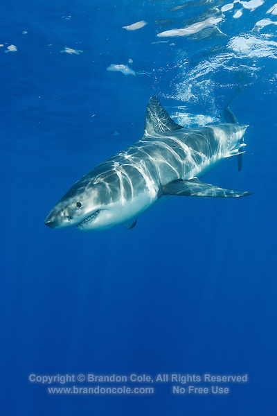TE0841-D. Great White Shark (Carcharodon carcharias), belongs to the family Lamnidae, the Mackerel Sharks. Females sexually mature at 10 to 12 years old, give birth to 7 to 9 live pups approximately 4 feet in length. With only 4 to 6 such litters in a lifetime, this species is extremely vulnerable to overfishing and slow to recover from population crashes. Great whites are currently protected in Mexican waters. Guadalupe Island, Baja, Mexico, Pacific Ocean.<br /> Photo Copyright &copy; Brandon Cole. All rights reserved worldwide.  www.brandoncole.com