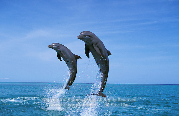 my806. two Bottlenose Dolphins (Tursiops truncatus) leaping. Honduras, Caribbean Sea..Photo Copyright © Brandon Cole. All rights reserved worldwide.  www.brandoncole.com