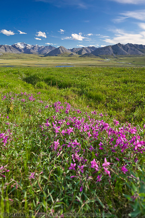 Dwarf fireweed, Endicott Mountains of the Brooks range in Alaska's Arctic.