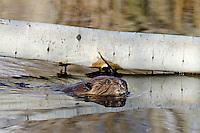 American Beaver (Castor canadensis) swimming by aspen log it has fallen.  Western U.S., May.