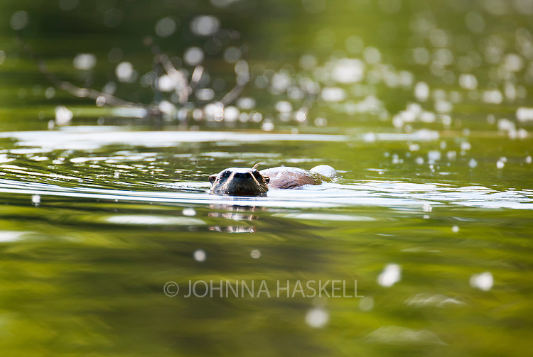 River Otter are amazing swimmers and love to catch fish and play.