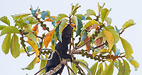 The tayra was high up a Panama rubber tree looking for fruit.