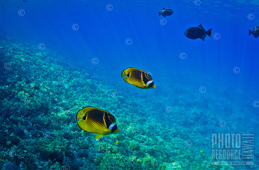 A snorkeler's view of raccoon butterflyfish and other tropical fish around the reef of Molokini Atoll, between Maui and Kaho'olawe.