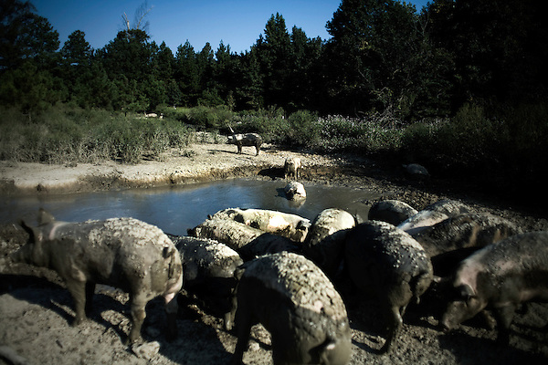 September 13, 2007, Louisburg, NC..Wallow in their mud pit within the large pen..The hogs will spend large parts of the day in the mud and walking about the pen eating the natural vegetation.