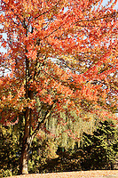 Maple tree sporting red fall foliage, Vancouver, BC, Canada