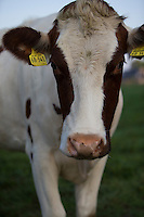 Rind, Hausrind, Kuh, Kühe, Rinder, artgerechte Tierhaltung, Weidevieh, Weidewirtschaft, cattle, cow, ranching, farming. Hamfelder Hof, Schleswig-Holstein