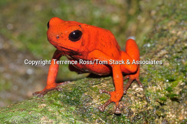 """Strawberry poison dart frog (Oophaga pumilio) This species of poison dart, or poison arrow frogs is known for its wide variety of color variations, or morphs, ranging from all red to the """" blue jeans"""" variety. Costa Rica."""
