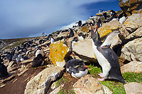 Falkland Islands, Kidney Cove, Southern rockhopper penguins (Eudyptes chrysocome) building nests into a rocky hillside