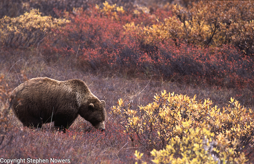 A brown bear in Denali National Park eats blueberries.