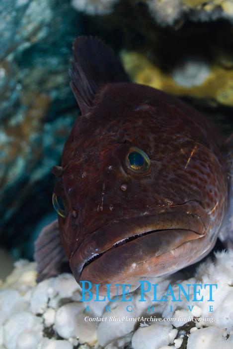 Ling cod, Ophiodon elongatus, Skookumchuk Narrows, Sechelt Peninnsula, British Columbia, Pacific Ocean