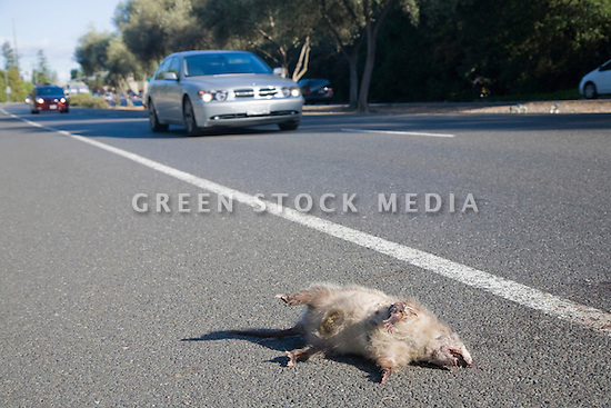 A roadkill possum on Foothill Expressway. A car driving in the background. Los Altos, California, USA